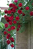 Best Climbing Roses - M-Tech Gardens Rare Grafted Dark Red Climbing Rose Review