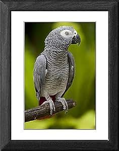 Tableau encadré Ubud. de Bali, un perroquet africain gris au Bali oiseau Park