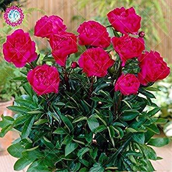 10pcs rares graines d'arbres pivoines blanc Bonsai Paeonia lactiflora Graines de fleurs vivaces de jardin en pot plants.semillas de flores 3
