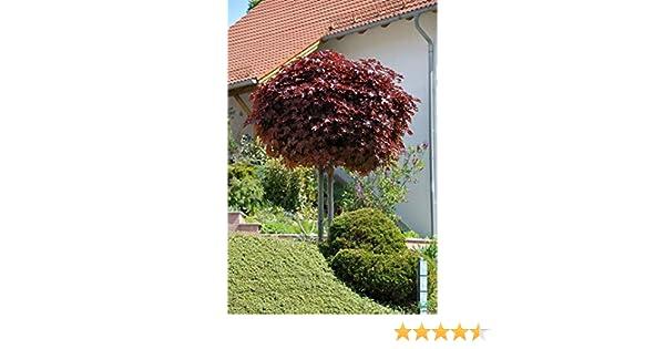 Ahorn Dünger ! Blutahorn Höhe: 170-180 cm Acer Crimson Sentry Stämmchen