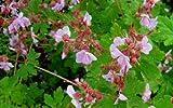 Staudenkulturen Wauschkuhn Geranium macrorrhizum 'Ingwersen' - Storchschnabel - Staude im 9cm Topf
