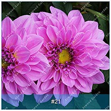 VISTARIC 13: 100 Pcs vrai Graines de Cactus mixte, intérieur Mini Cactus, Figuier, Graines Bonsai Fleur, Plante en pot pour jardin So Rare 13