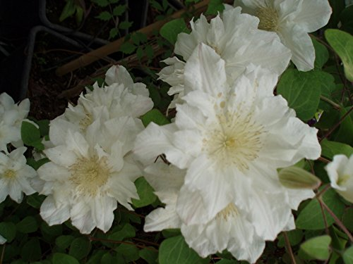 clematis-sylvia-denny-climbing-plant-white-flower-may-june-and-sept-1-litre-pot