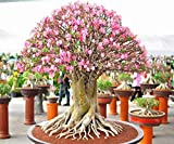 Semi: Adenium Arabicum RCN Desert Rose Semi Bonsai Decor REGISTRATO Track Online