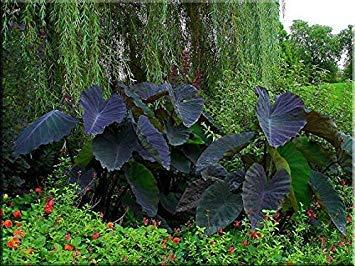 "CUSHY 3 große Elefantenohr ""Black Magic"" -Colocasia esculenta- Fügen Sie die Tropen"