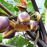 Pinkdose® 30 / bag Bananenbaum Pflanzen Obst Bonsai Seltene Kleiner Mini Hainan chinesische Bananenpflanzen Musa Bonsai Zwerg Basjoo Außen Garten * p: Clear