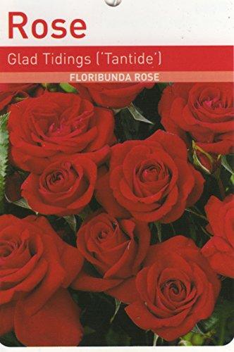glad-tidings-floribunda-rose-495-scented