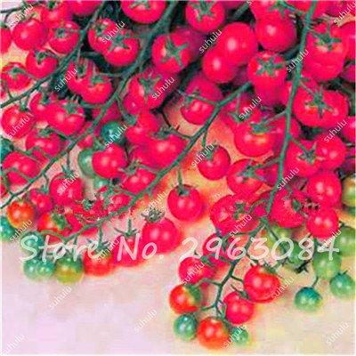 100 Pcs Rare Graines de tomate arc-en-ornement Pot graines de variétés anciennes de légumes bio alimentaires herbe pour les graines bonsaï plantes jardin 13