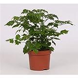 Radermachera sinicia 30 cm Zimmeresche Bignoniengewächse Zimmerpflanze