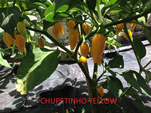 GRAINES DE PIMENT-CHUPETINHO YELLOW