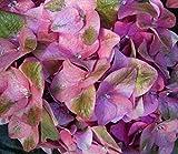 Hydrangea macrophylla Green Shadow - Bauernhortensie - 30-40 cm