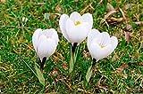 Krokus, Blumenzwiebeln, Krokus, weiß 10 Stück