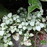 Taubnessel 'Red Nancy' - Lamium maculatum 'Red Nancy' - Silberlaubiger Bodendecker