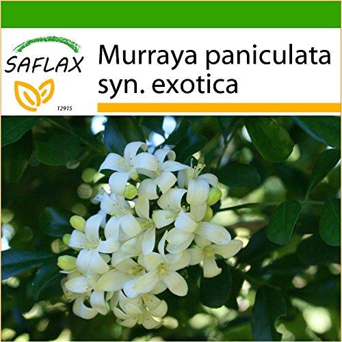 SAFLAX - Orangen - Jasmin - 12 Samen - Mit Substrat - Murraya paniculata syn. exotica