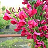 5 Stk. Ginster- Edelginster 'Boskoop Ruby -(Cytisus scoparius 'Boskoop Ruby')- Topfware 15-25 cm