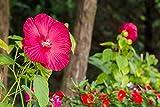 rot abelmoschus, hibiskus moscheutos luna' 5 Samen (ROT) Hibiscus Red