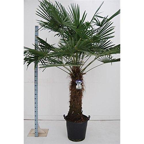 Chinesische Hanfpalme 220-240 cm Stamm 100-120 cm Trachycarpus fortunei