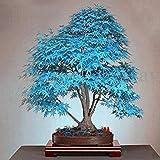 Fash Lady 20 Stücke Blau Japanischen Ahornbaum Bonsai Samen Balkon Pflanzen Für Hausgarten Pflanze Decor Air Purfication Supplies