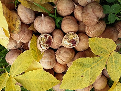 bitternut-hickory-carya-cordiformis-seedling-stunning-yellow-autumn-colours-edible-nuts