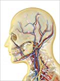 Posterlounge Holzbild 90 x 120 cm: Human Face and Neck Area with Nervous System, Lymphatic System and Circulatory System. von Stocktrek Images