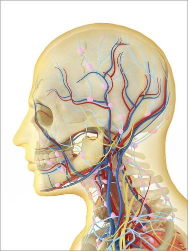 Alu Dibond 60 x 80 cm: Human face and neck area with nervous system, lymphatic system and circulatory system. von Stocktrek Images