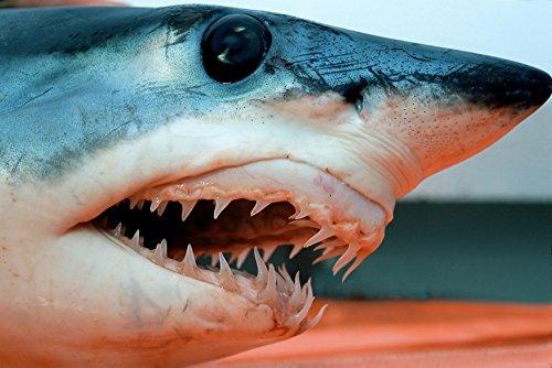 The Poster Corp VWPics/Stocktrek Images - Head of a shortfin mako Shark California Pacific Ocean. Kunstdruck (86,36 x 57,40 cm) -