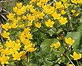 Wasserpflanzen Wolff - Caltha palustris - Sumpfdotterblume, gelb von Wasserpflanzen Wolff auf Du und dein Garten