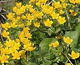 Wasserpflanzen Wolff - Caltha palustris - Sumpfdotterblume