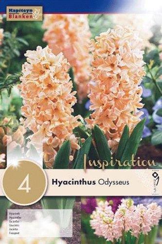 Hyazinthen Odysseus, 4 Stück