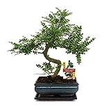 Bonsai Szechuan-Pfeffer - Zanthoxylum piperitum - ca. 10 Jahre