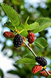 Seedeo Schwarzer Maulbeerbaum (Morus nigra) ca. 50 cm - 60 cm