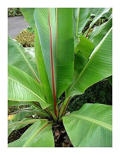 Shop Meeko Ensete ventricosum - Wild Banana - 3 Seeds