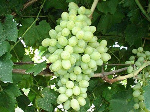 uva-sultanina-1-pianta-matura-a-fine-agosto