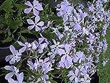 Phlox divaricata 'Clouds of Perfume' - 2 Pflanzen im 0,5 lt. Vierecktopf