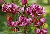 Türkenbund-Lilie 10 Samen Lilium martagon