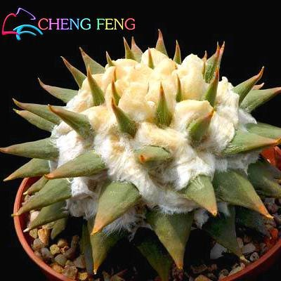 New Seeds 2016 !! 10Pcs ball cactus Graines rares Graines Succulent Plant Bonsai Celestial Flower Pot ornemental Planters Flores