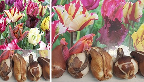 7x Tulip TULIP Parrot Parrot Mix Rainbow Allium Cepa for sale  Delivered anywhere in UK