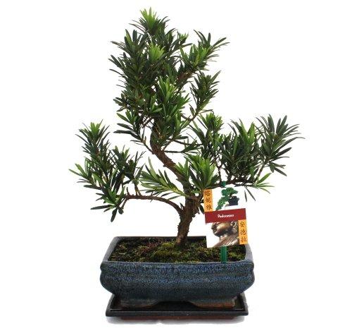 Bonsaï Pierre if - Podocarpus macrophyllus - 8 ans
