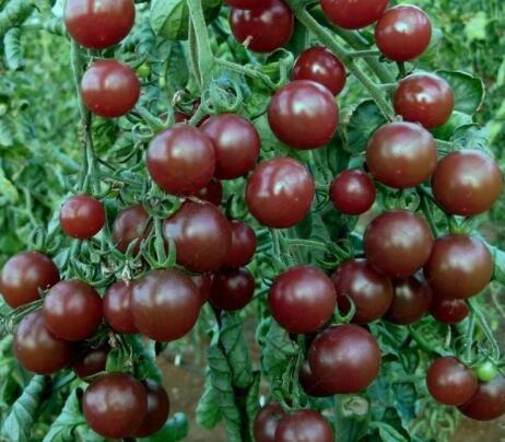 100 pcs/paquet Précipité nouvelles Plantes d'extérieur Promotion Jardin semences de tomates en pot fruits Bonsai Balcon de semences de légumes 7