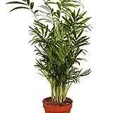Kentia-Palme ca.60-80cm hoch