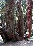 Tropica - Eisenholzbaum (Metrosideros robusta) - 200 Samen