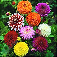 yongqxxkj 50Pcs Mixed Color Marigold Tagetes Seeds,Seeds for Gardening Flowers/Vegetable,Natural Ornamental Planting,Easy Grow Tree Flower Planting Seeds Garden Potted Plants Decor