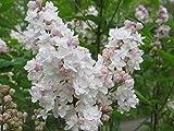Fliedertraum Syringa vulgaris 'Beauty of Moscow' Gartenpflanze, Flieder, Hellrosa-weiß Blühend, Gefüllt, 40-60 cm