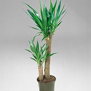 Yucca, 2-3 Liter Topf, ca 60 cm über Topf, 2-stämmig von Amazon.de Pflanzenservice - Du und dein Garten