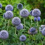 KEPTEI Samen - 10/30/50/100 Echinops Samen Globus Distel blau Blumensamen