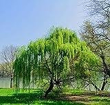 TOMASASeedhouse- Semi di salice piangenti rari Semi di albero di salice appesi Semi di alberi di grandi dimensioni Semi di alberi Resistenti Hardy Albero ornamentale perenne