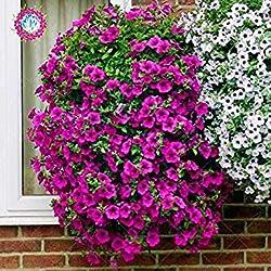 100/BAG Hängende Petunien-Samen, Topf Balkon Petunie Blumensamen, die ursprüngliche Paket Samt 2 Hinter