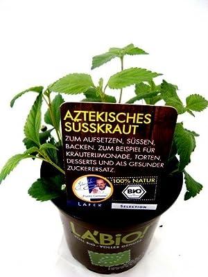 Bio Aztekisches Süßkraut Kräuterpflanze von LÀBiO! Kräuter - Du und dein Garten