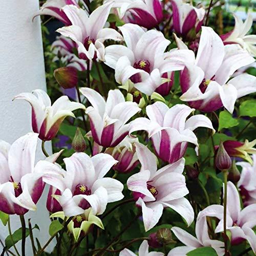 AIMADO Samen-Rarität 50 Pcs Tulpen-Clematis 'Princess Kate Blumensamen mehrjährig winterhart lange Blütezeit Bonsai Saatgut Garten Kletterpflanze -