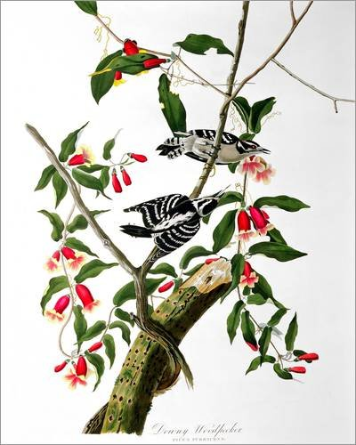 impresion-en-madera-40-x-50-cm-downy-woodpecker-from-birds-of-america-engraved-by-robert-havell-de-j